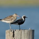 Bar-tailed Godwit & Black-bellied Plover