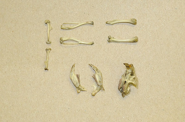 Contents Northern Saw-whet Owl Pellet