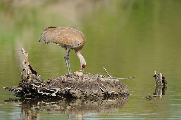 Sandhill Crane Nest