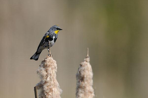 Yellow-rumped Warbler (Audubon`s)