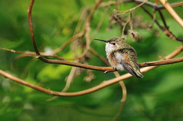 Rufous Hummingbird Fledgling