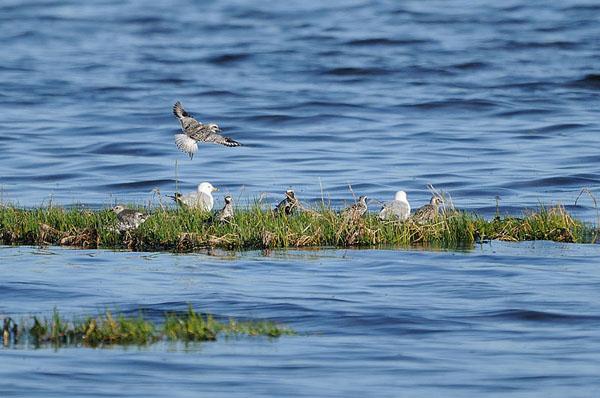 Black-bellied Plovers & Ring-billed Gulls
