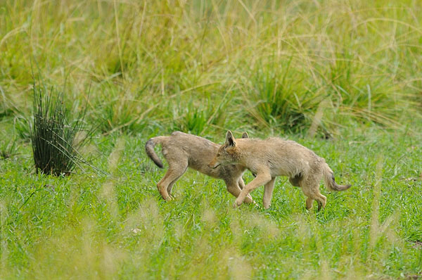 Coyote Juveniles