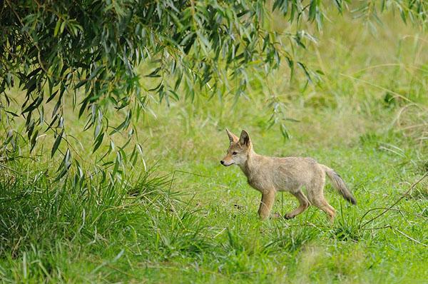 Coyote Juvenile