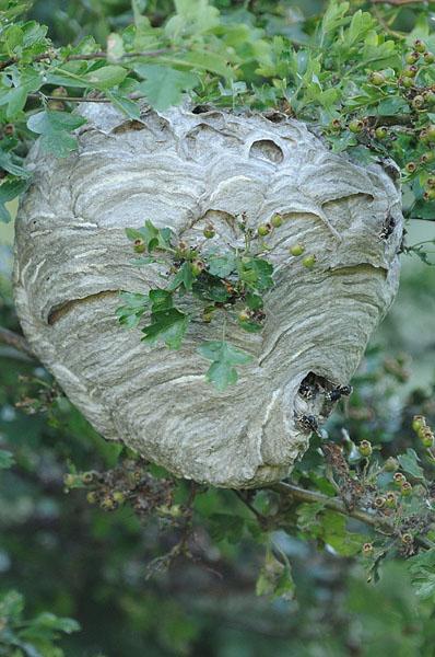 White-faced Hornet Nest