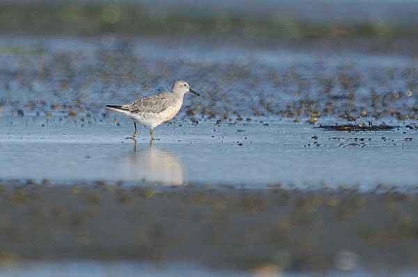 Red Knot
