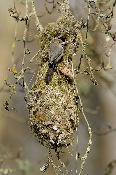 Bushtit  U2013 Page 2  U2013 Crazym Bird  U0026 Nature Photography