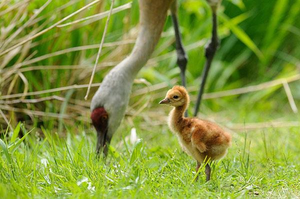 Sandhill Crane Chick