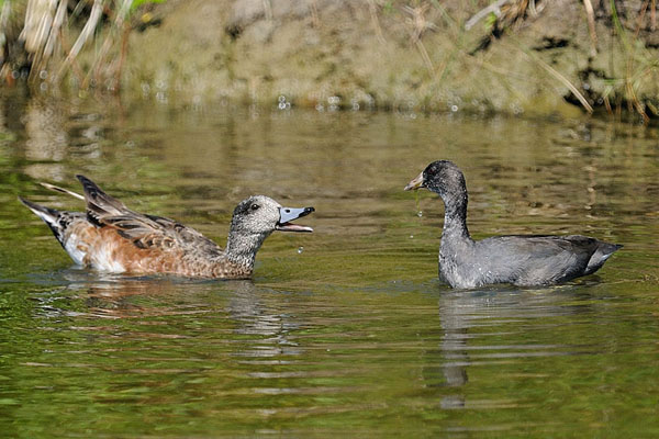 American Wigeon & American Coot
