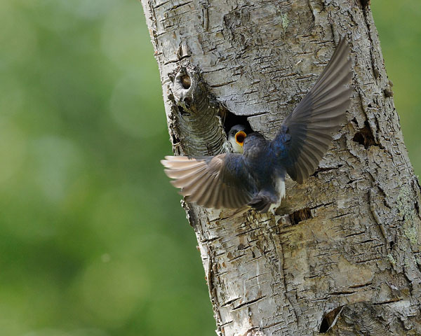 Tree Swallow Nest