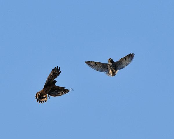 Short-eared Owl & Northern Harrier