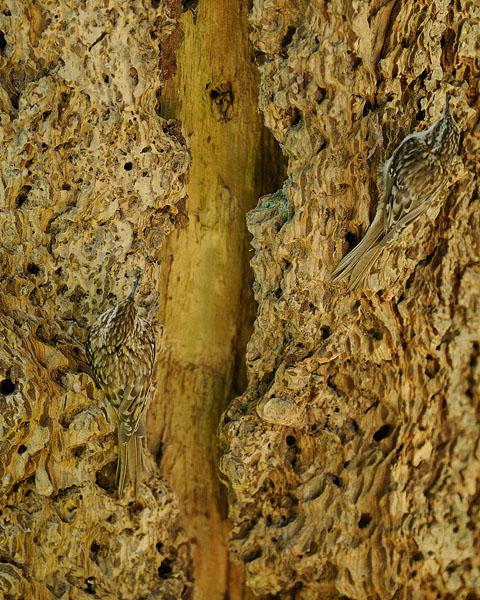 Brown Creeper Nest