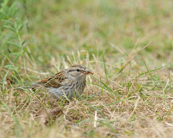 Lincoln's Sparrow