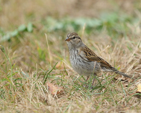 Lincoln's Sparrow